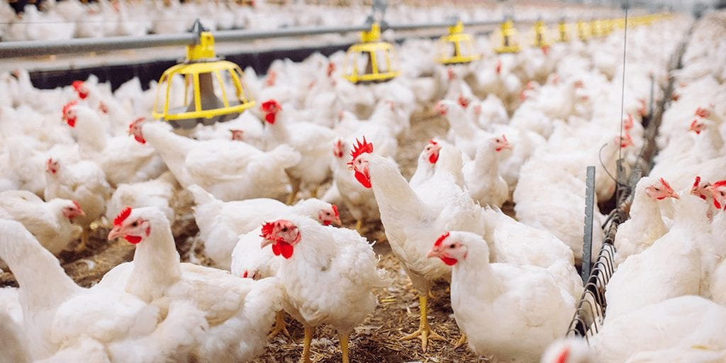 Poultry industry scandal as unregulated antibiotics are seized at UK airport