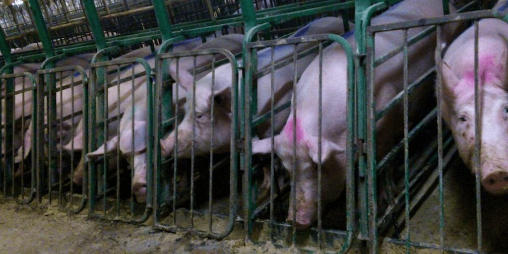 Meat industry braces itself for $3.2 billion loss as customers reject animal abuse