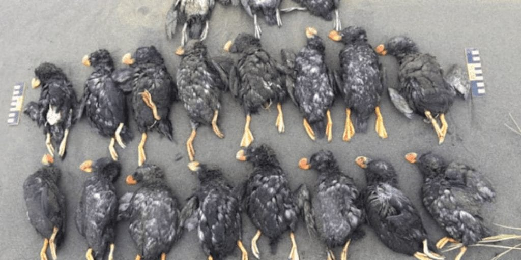 Thousands of puffins starve to death and wash up on Alaskan beaches because of climate change