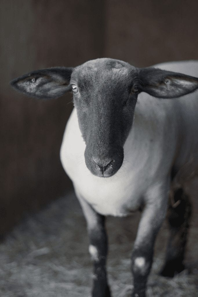 Rebel high school farming students send animals to a sanctuary instead of the slaughterhouse