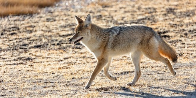 US approves use of cyanide bombs to kill wild animals