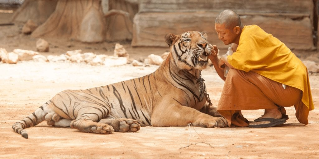 86 tigers taken from infamous Tiger Temple die in Government custody
