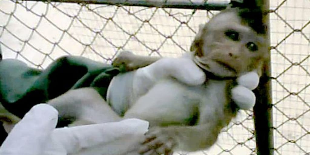 Heartbreaking footage shows terrified baby monkey snatched from mother at UK testing lab