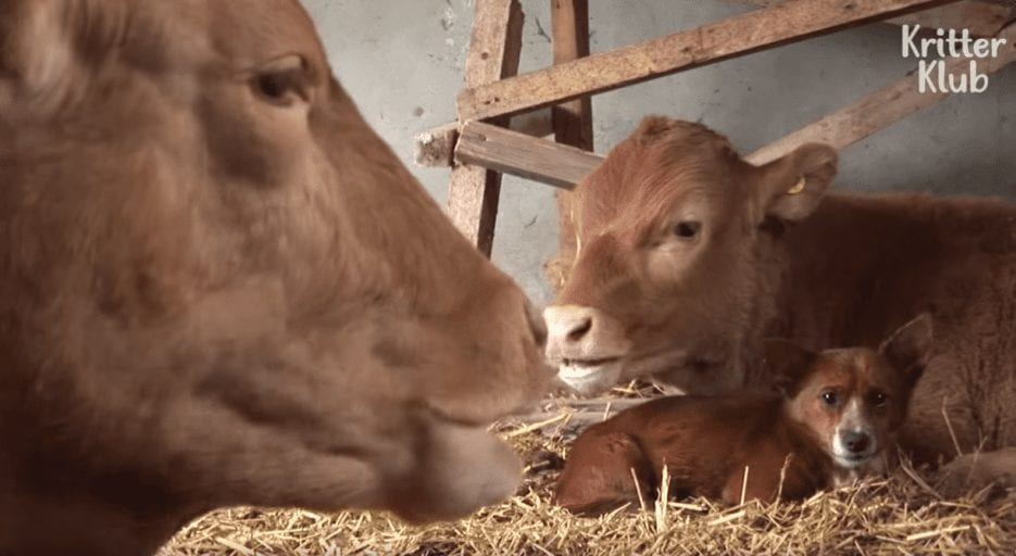 Orphan dog cries as he_s reunited with mother cow who raised him