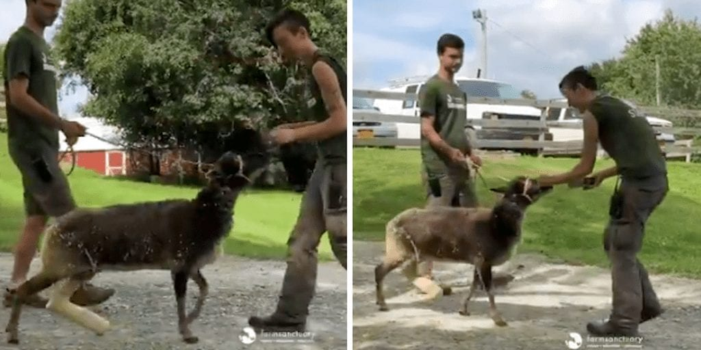 WATCH Sanctuary makes rescue sheep a prosthetic leg after she gets caught in an electric fence
