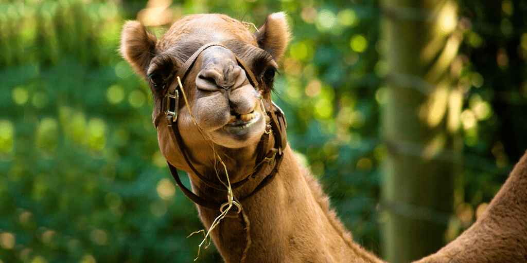 Woman prosecuted for entering camel enclosure and biting its testicles