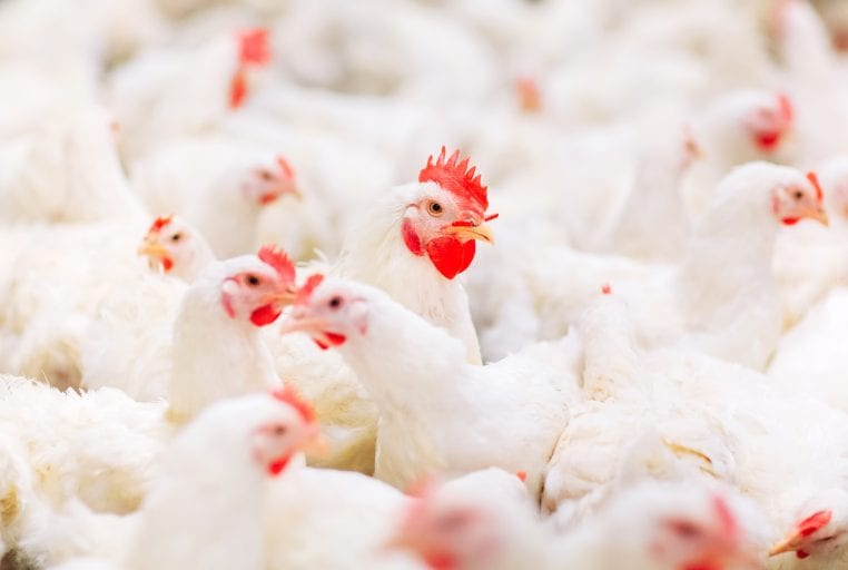 'Free range' chickens come in flocks of 36,000 birds
