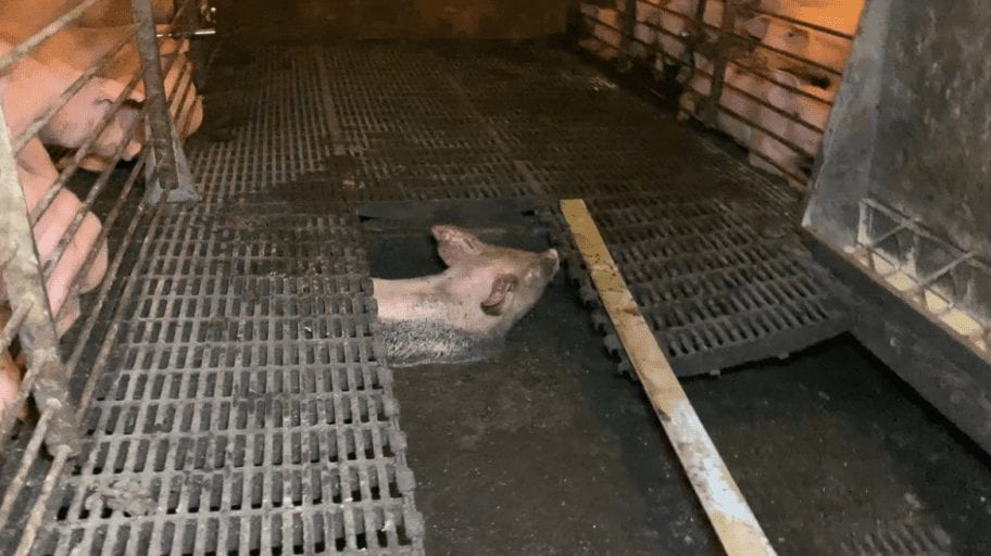 Investigation Dying piglets left to rot at second biggest US pork supplier