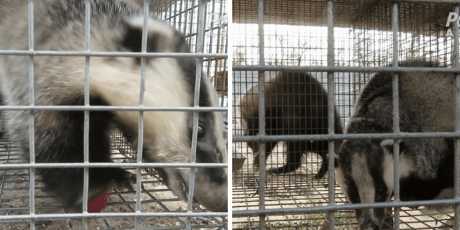 Investigation into brutal Chinese badger farms convinces brands to ditch industry