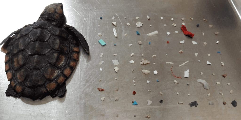 Tiny dead turtle washed up on Florida beach with 104 pieces of plastic in its stomach