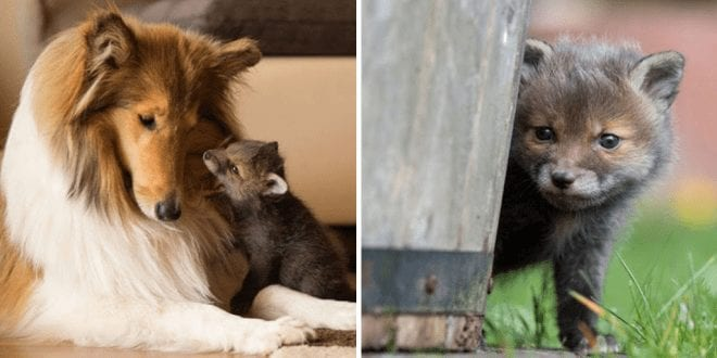 Dog-turns-surrogate-mum-for-orphaned-baby-fox