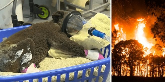 More-than-1000-koalas-die-in-Australian-bushfires