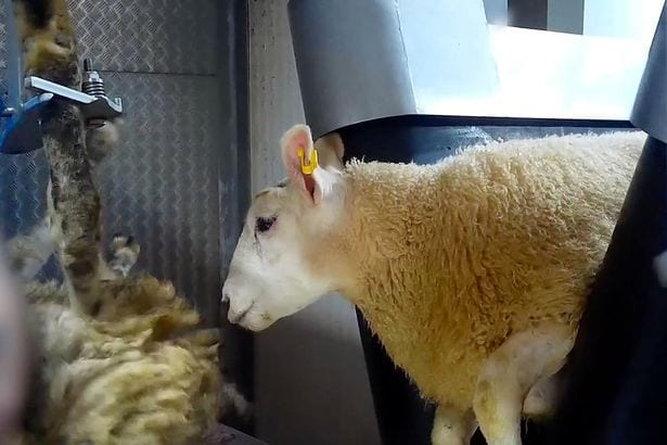 Sheep crushed and beheaded in front of each other in shocking footage at British slaughterhouse