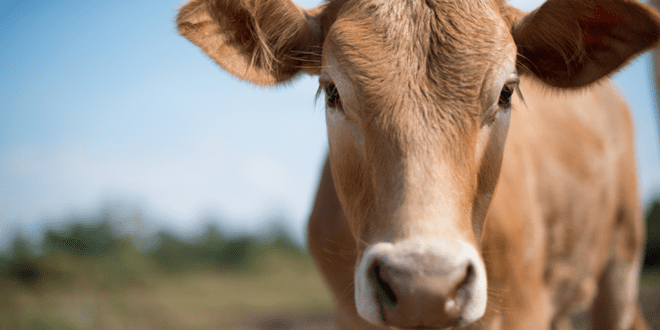 The-Netherlands-to-introduce-tax-on-animal-slaughter