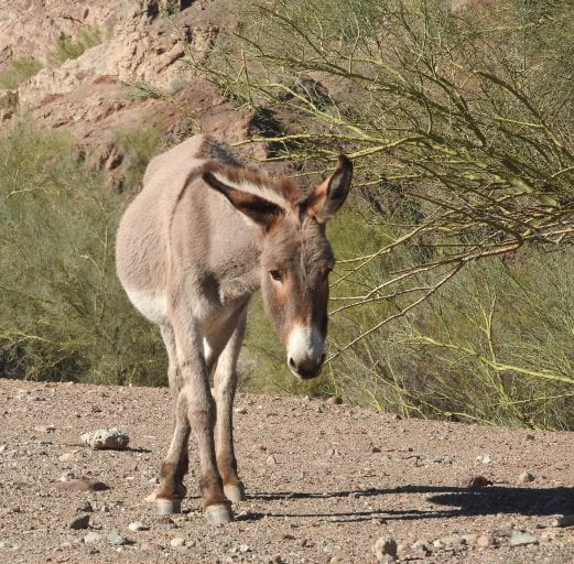Donkey populations plummet as they are increasingly killed for their skin in Chinese traditional medicine