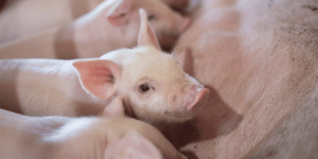 Male piglets become first nonhuman animal to sue German government in animal abuse case