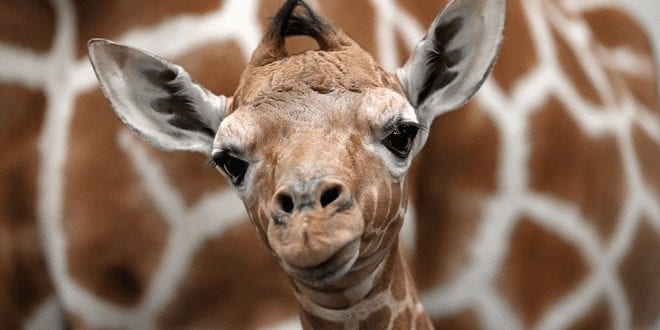 New York becomes first state to ban trafficking of giraffe body parts