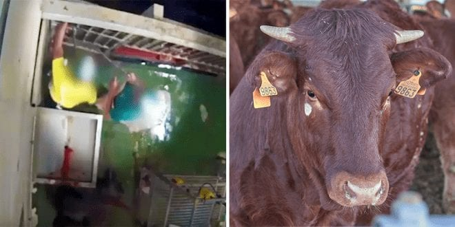 Undercover footage reveals horses brutally stabbed and cows beaten with metal sticks at Spanish slaughterhouse