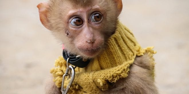 Chained monkeys forced to juggle fire and jump through spiked hoops in humiliating shows for tourists in Thailand
