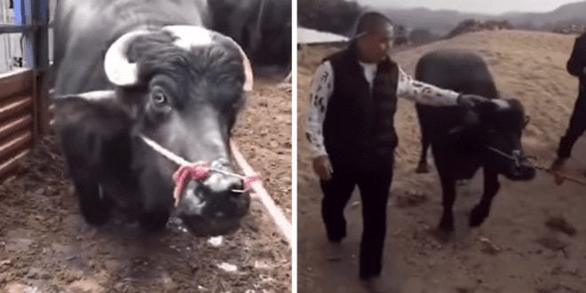 Pregnant cow saved after kneeling in front of slaughterhouse workers 'with tears in her eyes begging them to spare her'