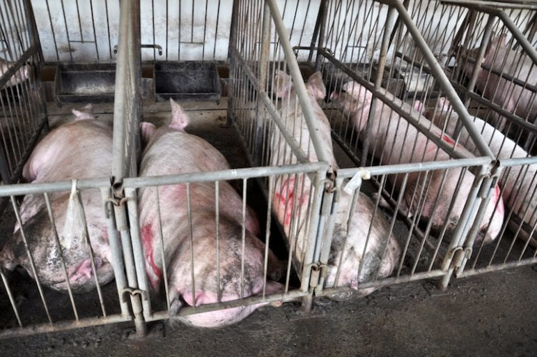 Activists sue USDA over abuse of millions of pigs too sick injured to walk