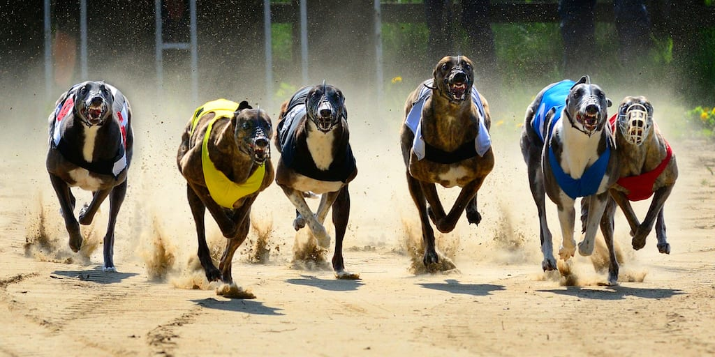 Healthy greyhounds killed 'in their prime' in racing industry shocking death toll figures are revealed