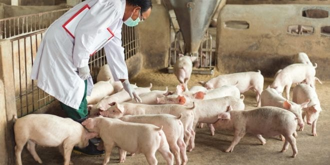 Scientists concerned about hepatitis E from slaughterhouse pigs reaching human