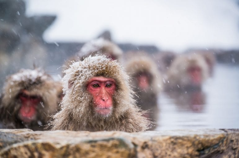 Snow monkeys forced into degrading circus performance in Japan