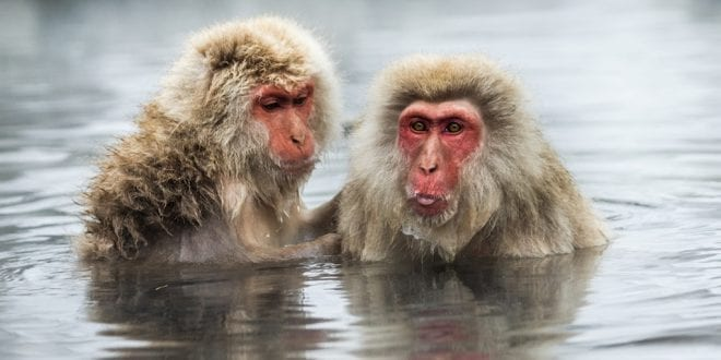 Snow monkeys forced into degrading circus performances in Japan