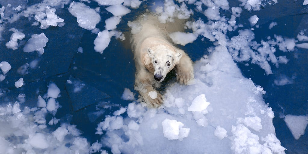 Trophy hunting expeditions push polar bears close to extinction