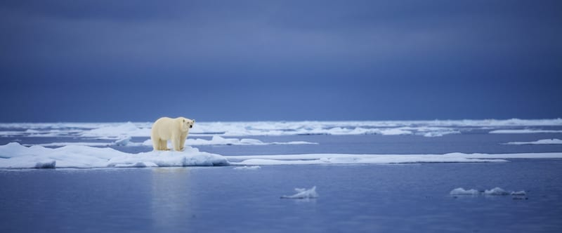 Trophy hunting expeditions push polar bears to extinct