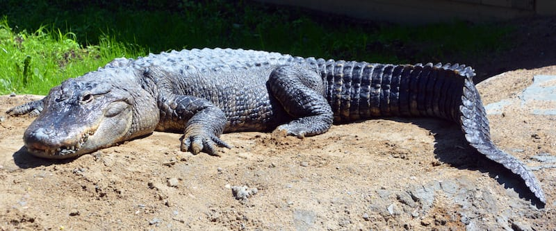 The alligator industry is being 'destroyed' California's exotic skins ban