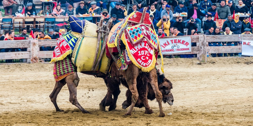 Festivals where camels are forced to wrestle