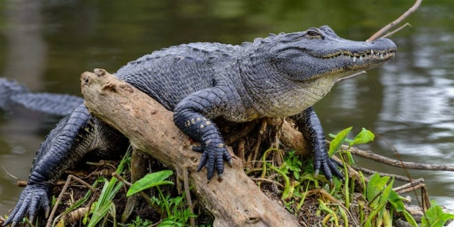 The alligator industry is being 'destroyed' by California's exotic skins ban