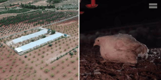 Undercover footage shows farm where chickens 'lay dead after being pumped with antibiotics'
