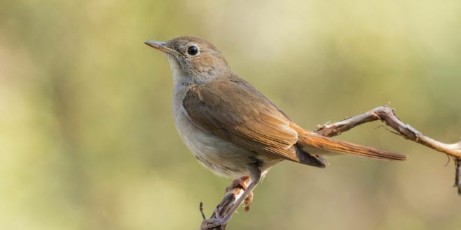 Climate change is pushing nightingales to the brink of extinction