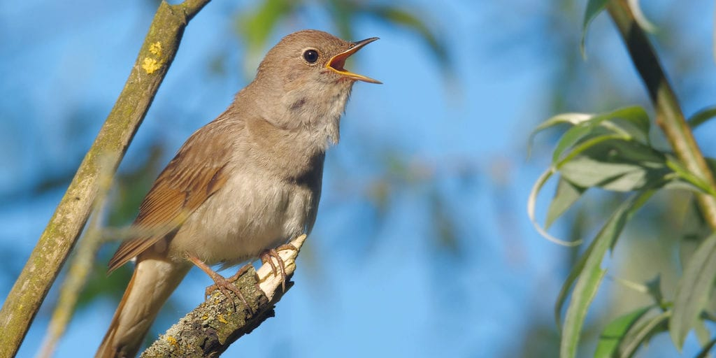 Climate change is pushing nightingales to the extinction