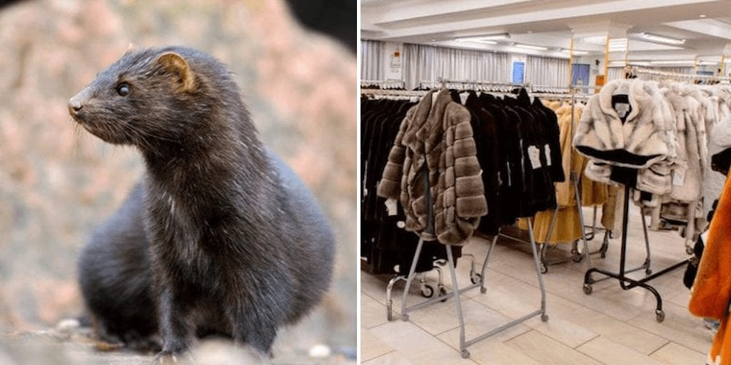 Animal rights groups call fur farm bans after minks test positive for COVID-19