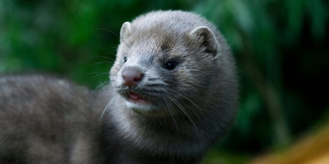 COVID-19 positive mink likely to have infected Dutch farm worker