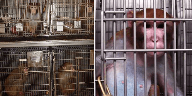 Cruel lab forces pregnant monkeys to eat lard and become nicotine and booze addicts