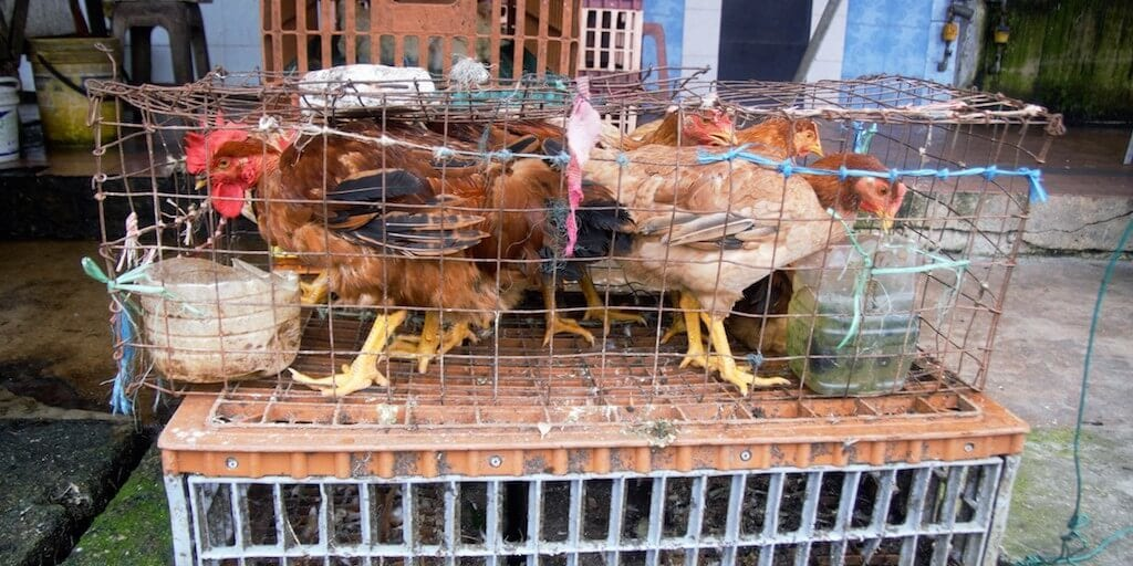 New York wet markets are 'clear disease vectors says animal rights group demanding shutdown