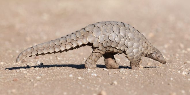 China removes pangolin scales from traditional medicinal ingredient list