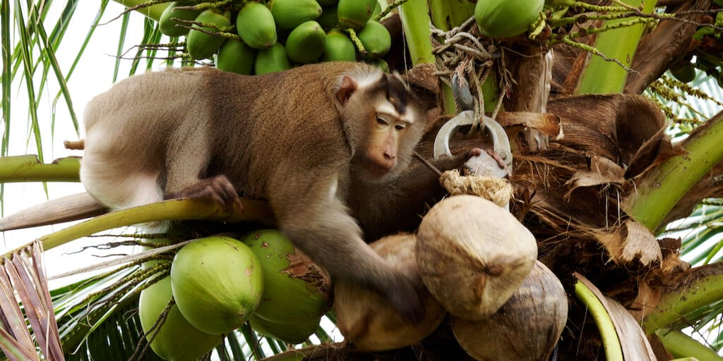 Leading supermarkets ban Thai coconut products harvested by monkey 'slaves'