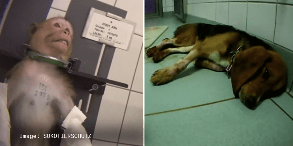 Court allows hellish German lab torturing animals with barbaric tests to reopen_TotallyVeganBuzz