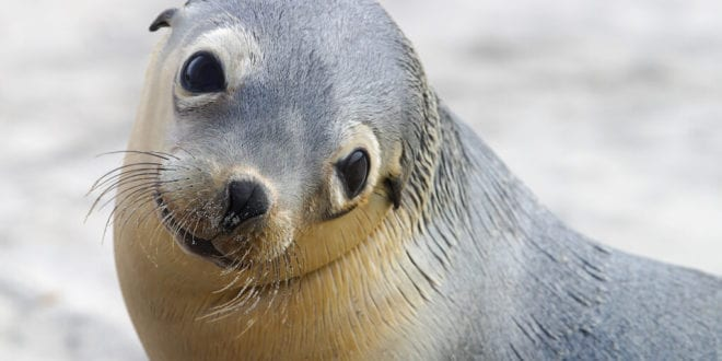U.S. allows killing sea lions save declining salmon population