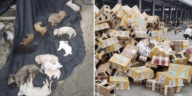 5000 pets including rabbits, cats and dogs found dead at Chinese shipping depot