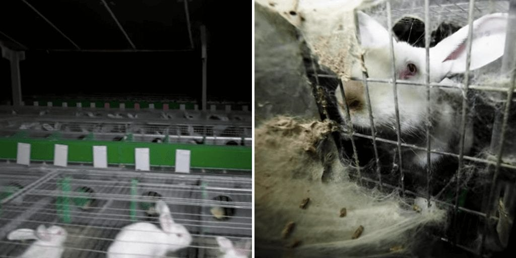 French animal advocates expose 'pitiful' plight of caged rabbits ahead of MPs' animal rights vote