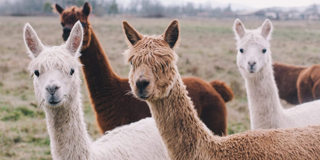 High Street giants Next, New Look, Matalan and Ted Baker to ban alpaca wool
