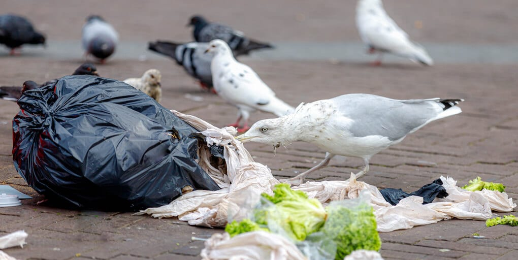 Seagulls, penguins and pigeons found carrying fatal human bacteria