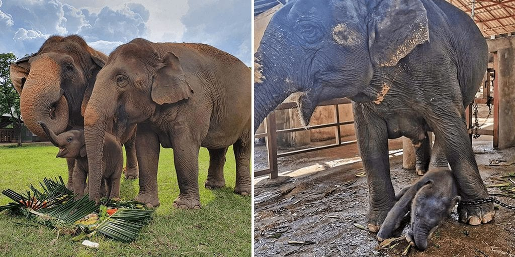 Thailand zoo elephants forced to perform cruel tricks finally rescued by sanctuary